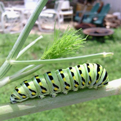 """""""Caterpillar' copyright 2015 Susan Billmaier for susanwithpearls"""